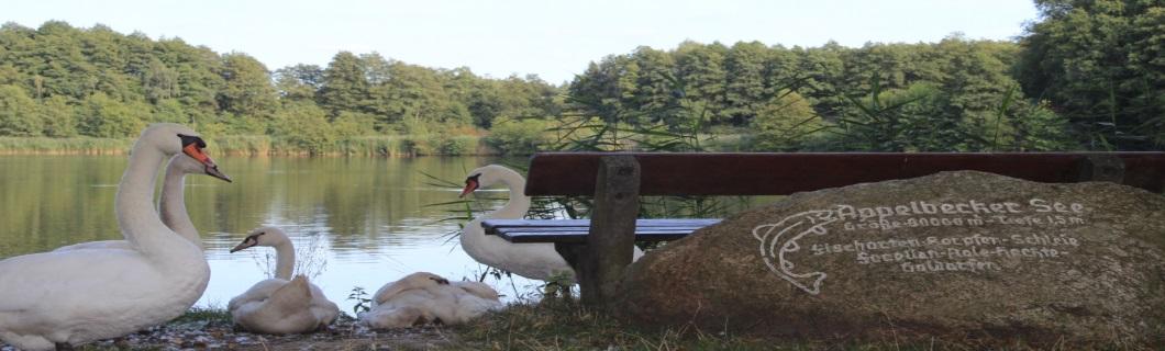 Schwan Appelbeck am See