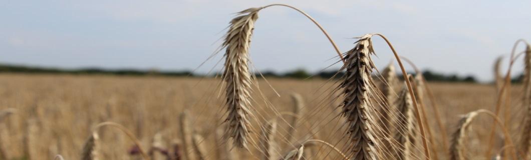 Feld, Getreide